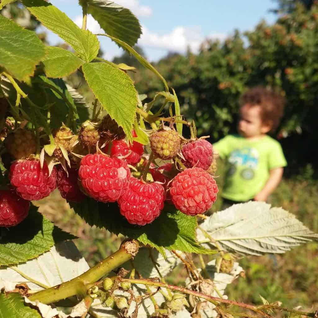 Took the little one raspberry picking today! It was ahellip