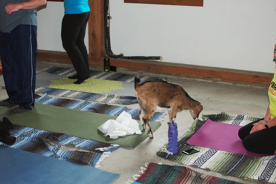 Goat Yoga Peeing on Mat