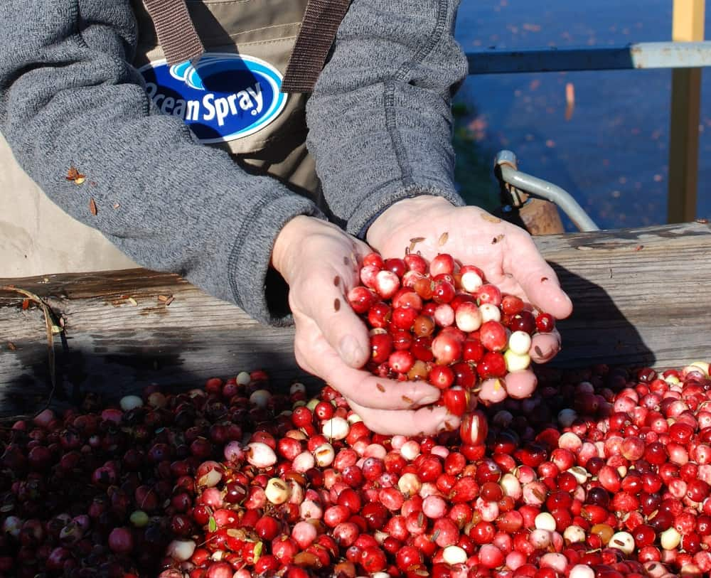 fresh just harvested cranberries in a woman's hands