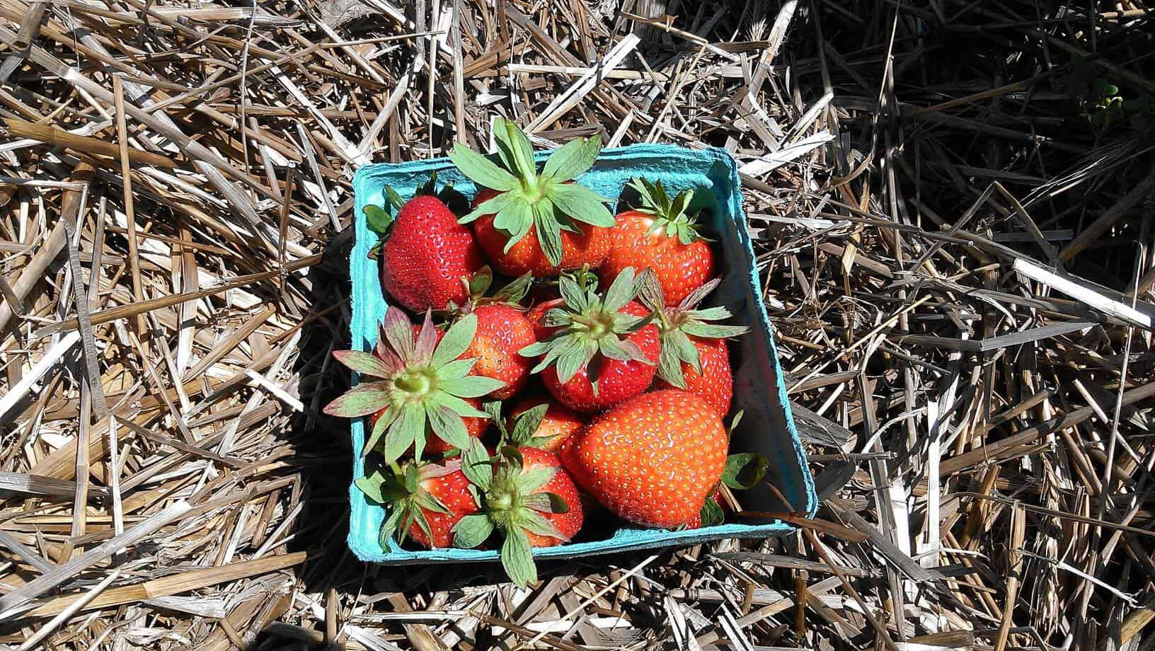 Antioxidant Rich Strawberries